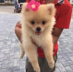 pomeranian lap dog