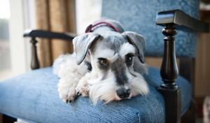 schnauzer lap dog