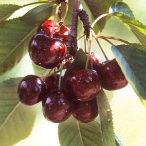 Lapins Sweet Cherry