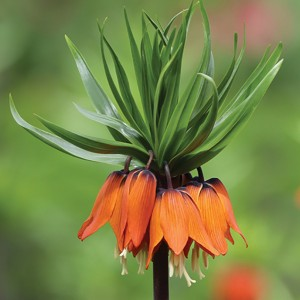 fritillaria rubra from tulips.com