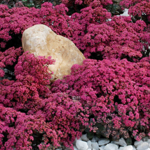 SunSparkler® Dazzleberry Stonecrop from Jackson & Perkins