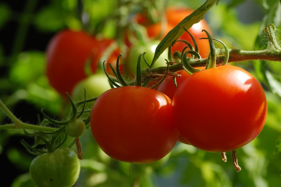 Red and Green Tomatoes Hanging on Vine