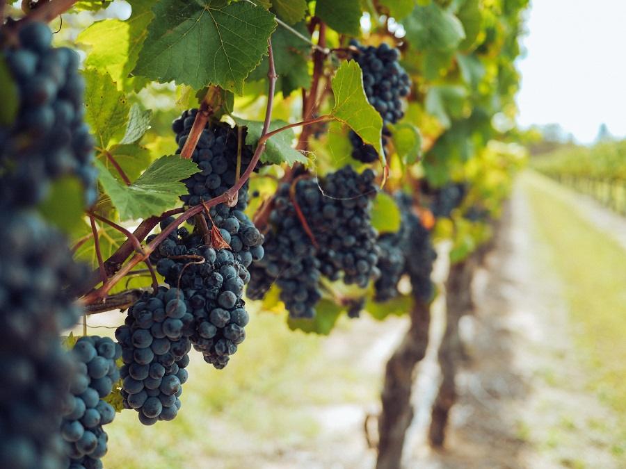 good grapes in the vineyard