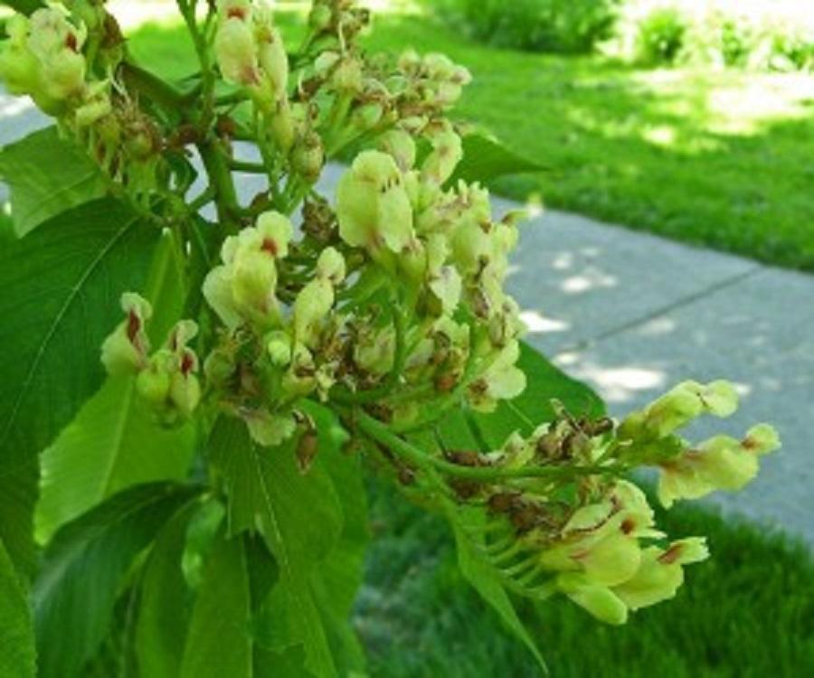 Buckeye is a green, flowering shrub